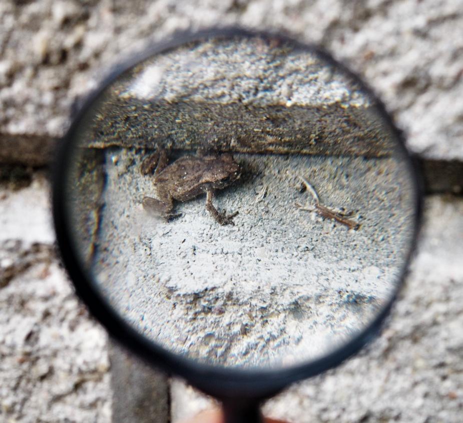 Muchozów Waleczny, który jeszcze jest żabą.