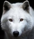 Wilk w potrzasku (spotkanie do D&D 5E)